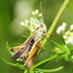Omocestus viridulus, Bunter Grashüpfer, Männchen