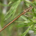 Platycnemis acutipennis, Rote Federlibelle, Männchen, Portugal