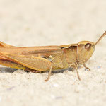 Chorthippus vagans, Steppen-Grashüpfer, Weibchen