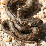 Natrix maura, Vipernatter, Portugal