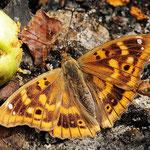 Apatura ilia - Kleiner Schillerfalter, Rumänien