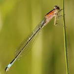 Ischnura elegans, GroßePechlibelle, Weibchen