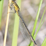 Ischnura elegans, Große Pechlibelle, Weibchen, Schweden