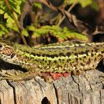 Lacerta viridis, Östliche Smaragdeidechse, Weibchen, Rumänien