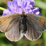 Erebia nivalis - Hochalpiner Schillernder Mohrenfalter, Österreich
