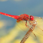 Crocothemis erythraea, Feuerlibelle, Männchen
