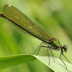 Calopteryx splendens, Gebänderte Prachtlibelle, Weibchen