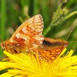 Boloria aquilonaris - Hochmoor-Perlmuttfalter, Kopula, Schweden
