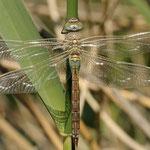 Anax parthenope, Kleine Königslibelle, Weibchen
