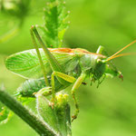 Tettigonia cantans, Zwitscherschrecke, Männchen