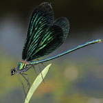 Calopteryx virgo, Baluflügel-Prachtlibelle, Männchen