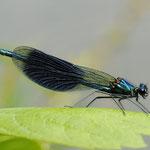 Calopteryx splendens, Gebänderte Prachlibelle, Männchen