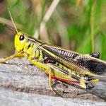 Arcyptera fusca, Große Höckerschrecke, Männchen, Schweiz