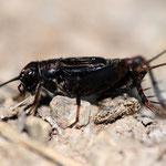 Nemobius sylvstris, Waldgrille, Männchen