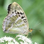 Argynnis paphia, Kaisermantel