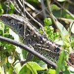 Lacerta agilis, Zauneidechse, Weibchen