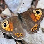 Lasiommata maera - Braunauge w