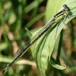 Ischnura elegans, Große Pechlibelle, Weibchen