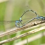 Coenagrion pulchellum, Fledermaus-Azurjungfer, Kopula