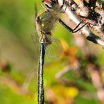 Somatochlora alpestris, Alpen-Smaragdlibelle, Männchen, Schweden