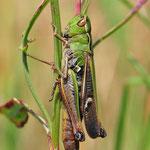 Stenobothrus lineatus, Heidegrashüpfer, Männchen