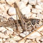 Decticus albifrons, Südlicher Warzenbeißer, Männchen, Italien