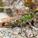 Gomphocerus sibiricus, Sibirische Keulenschrecke, Weibchen, Schweiz