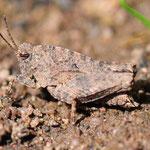 Tetrix undulata, Gemeine Dornschrecke