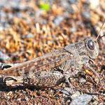 Calliptamus italicus, Italienische Schönschrecke, Weibchen