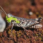 Myrmeleotettix maculatus, Gefleckte Keulenschrecke, Weibchen
