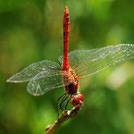Sympetrum sanguineum, Blutrote Heidelibelle, Männchen