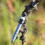 Orthetrum brunneum, Südlicher Blaupfeil, Männchen