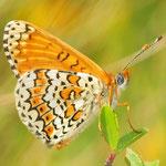 Melitaea cinxia - Wegerich-Scheckenfalter