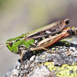 Stenoborhtrus rubicundulus, Bunter Alpengrashüpfer, Weibchen, Österreich