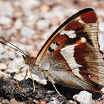 Apatura iris - Großer Schillerfalter