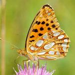 Issoria lathonia - Kleiner Perlmuttfalter