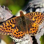 Boloria aquilonaris - Hochmoor-Perlmuttfalter, Schweden