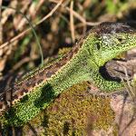 Lacerta agilis, Zauneidechse, Männchen