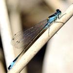 Ischnura elegans, Große Pechlibelle, Männchen