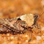 Tetrix tenuicornis, Langfühler-Dornschrecke