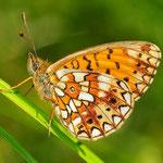 Boloria selene - Sumpfwiesen-Perlmuttfalter