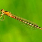 Ischnura pumilio, Kleine Pechlibelle, Weibchen