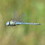 Aeshna affinis, Südliche Mosaikjungfer, Männchen