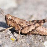 Pezotettix giornae, Kleine Knarrschrecke, Weibchen, Ungarn