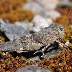 Spingonotus caerulans, Blauflügelige Sandschrecke, Weibchen