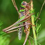Decticus verrucivorus, Warzenbeißer, Weibchen