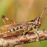 Gomphocerus rufus, Rote Keulenschrecke, Weibchen