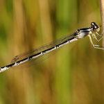 Enallagma cyathigerum, Becher-Azurjungfer, Weibchen