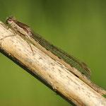 Sympecma fusca, Gemeine Winterlibelle, Weibchen