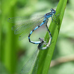 Coenagrion ornatum, Vogel-Azurjungfer, Kopula